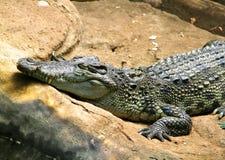 Amerikaanse Alligator op de steen Zoete Dromen Glimlach Royalty-vrije Stock Foto