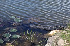 Amerikaanse Alligator in Zuid-Florida stock afbeelding
