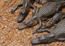 Amerikaanse Alligators Royalty-vrije Stock Foto's