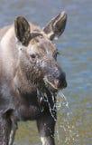 Amerikaanse Amerikaanse elanden Royalty-vrije Stock Foto