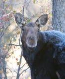 Amerikaanse Amerikaanse elanden Stock Foto's