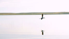 Amerikaanse Avocet tijdens de vlucht Royalty-vrije Stock Foto's