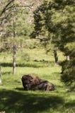 Amerikaanse Bizon stock fotografie