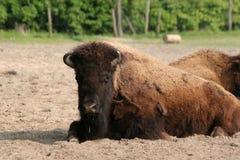 Amerikaanse bizon royalty-vrije stock foto's