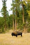 Amerikaanse bizon Stock Foto's