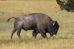 Amerikaanse bizon Royalty-vrije Stock Afbeelding