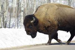 Amerikaanse bizon stock afbeelding