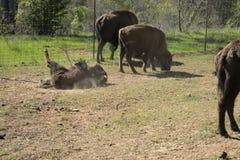 Amerikaanse Bizon, of Buffels, kalf die in het vuil rollen stock foto