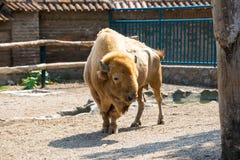 Amerikaanse bizon in gevangenschap stock foto