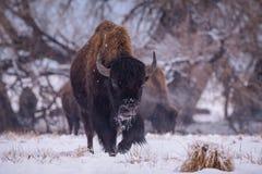 Amerikaanse Bizon op de Hoge Vlaktes van Colorado royalty-vrije stock foto