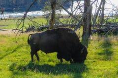 Amerikaanse bizon in Yellowstone Stock Fotografie