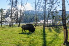 Amerikaanse bizon in Yellowstone Royalty-vrije Stock Foto