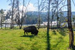 Amerikaanse bizon in Yellowstone Royalty-vrije Stock Foto