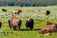 Amerikaanse bizonfamilie in Yellowstone Royalty-vrije Stock Afbeeldingen
