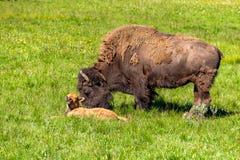 Amerikaanse bizonfamilie in Yellowstone Royalty-vrije Stock Foto's