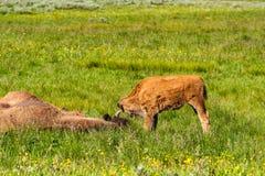 Amerikaanse bizonfamilie in Yellowstone Stock Afbeelding