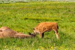 Amerikaanse bizonfamilie in Yellowstone Royalty-vrije Stock Afbeelding