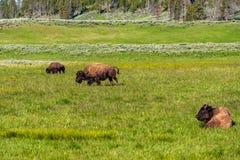 Amerikaanse bizonfamilie in Yellowstone Stock Afbeeldingen
