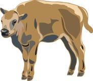 Amerikaanse bizonkalveren Royalty-vrije Stock Afbeelding
