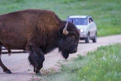 Amerikaanse Buffels Royalty-vrije Stock Fotografie