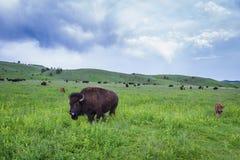 Amerikaanse Buffels stock foto's
