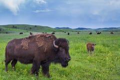 Amerikaanse Buffels royalty-vrije stock foto's