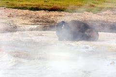 Amerikaanse Buffels & x28; Bizon bison& x29; Royalty-vrije Stock Afbeelding