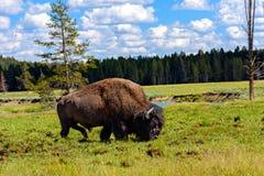 Amerikaanse Buffels & x28; Bizon bison& x29; Stock Fotografie