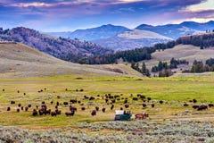 Amerikaanse Buffels & x28; Bizon bison& x29; In Yellowstone Royalty-vrije Stock Foto