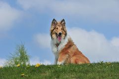 Amerikaanse Collie Royalty-vrije Stock Foto