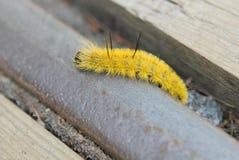 Amerikaanse Dagger Moth-rupsband stock foto