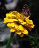 Amerikaanse Dame Butterfly Royalty-vrije Stock Afbeelding