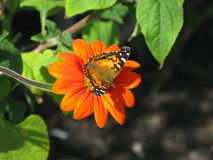 Amerikaanse Dame Butterfly Royalty-vrije Stock Foto's