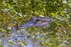 Amerikaanse die Alligator in een Moeras wordt gecamoufleerd royalty-vrije stock afbeeldingen