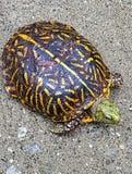 Amerikaanse doosschildpad royalty-vrije stock fotografie