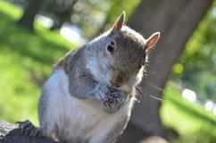 Amerikaanse eekhoorn die pinda's eten Royalty-vrije Stock Foto's