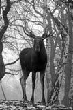 Amerikaanse elanden Stock Foto's