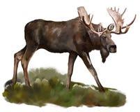 Amerikaanse elanden   Stock Afbeelding