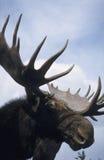 Amerikaanse elanden Royalty-vrije Stock Afbeeldingen