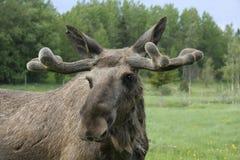 Amerikaanse elanden Stock Fotografie