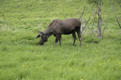 Amerikaanse elanden Stock Foto