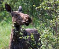 Amerikaanse elanden royalty-vrije stock afbeelding
