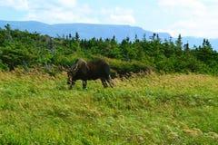 Amerikaanse elanden Stock Afbeeldingen