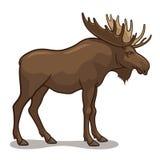 Amerikaanse elanden Royalty-vrije Stock Foto