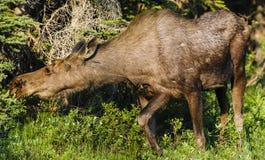 Amerikaanse elanden (Alces alces) Royalty-vrije Stock Fotografie