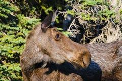 Amerikaanse elanden (Alces alces) Royalty-vrije Stock Foto's
