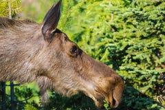 Amerikaanse elanden (Alces alces) Stock Afbeelding