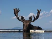 Amerikaanse elanden (Alces alces) Royalty-vrije Stock Foto