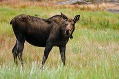 Amerikaanse elanden & x28; Alces alces& x29; Stock Afbeeldingen