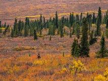 Amerikaanse elanden in Autumn Denali Tundra, het Nationale Park van Denali stock foto's